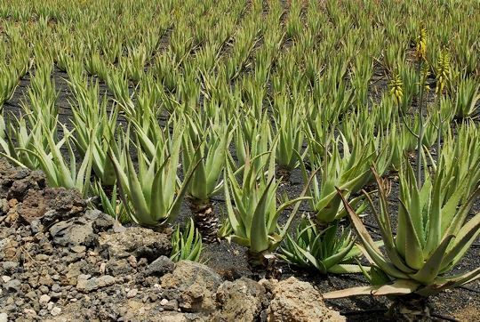 aloe vera de las islas canarias